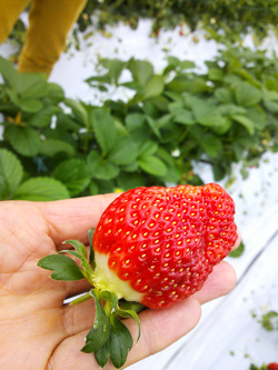 strawberry01s