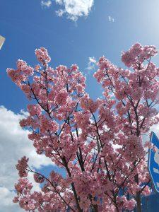 どこもかしこも桜満開